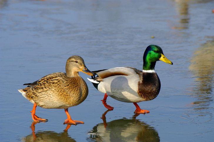 Two ducks walking on a beach.