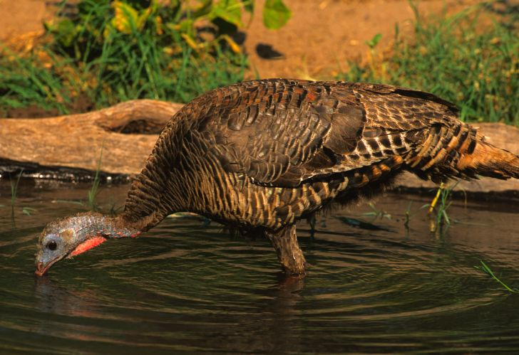 Wild turkey drinking water