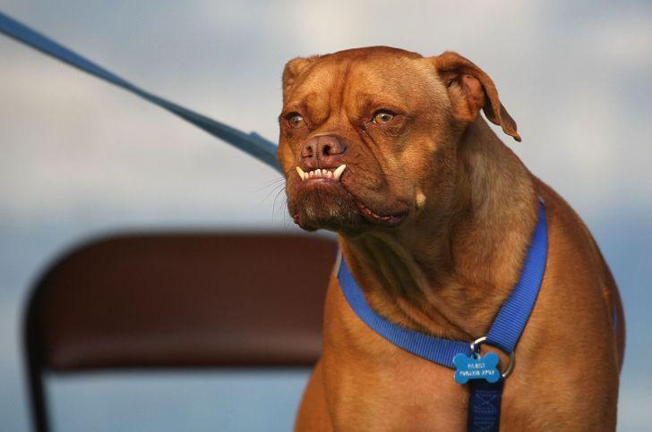 Pabst, the 2009 winner of World's Ugliest Dog