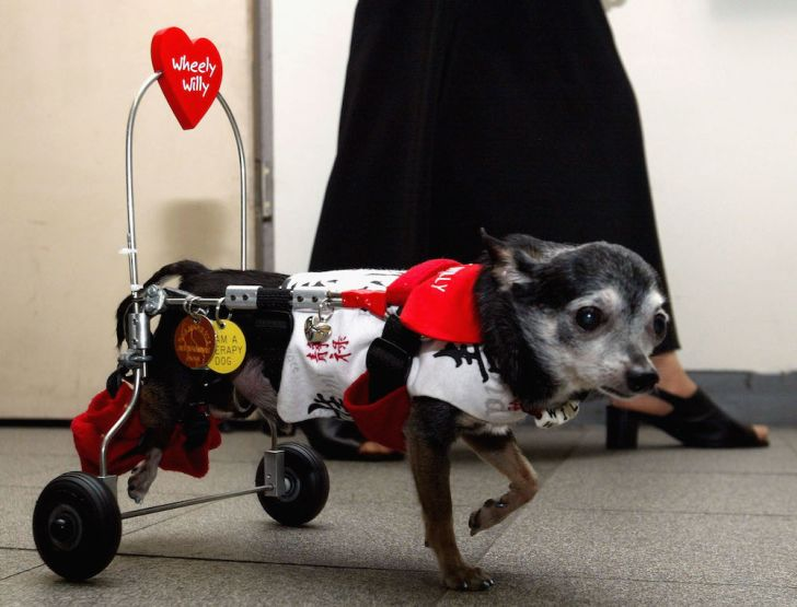 Wheely Willy the rescue dog