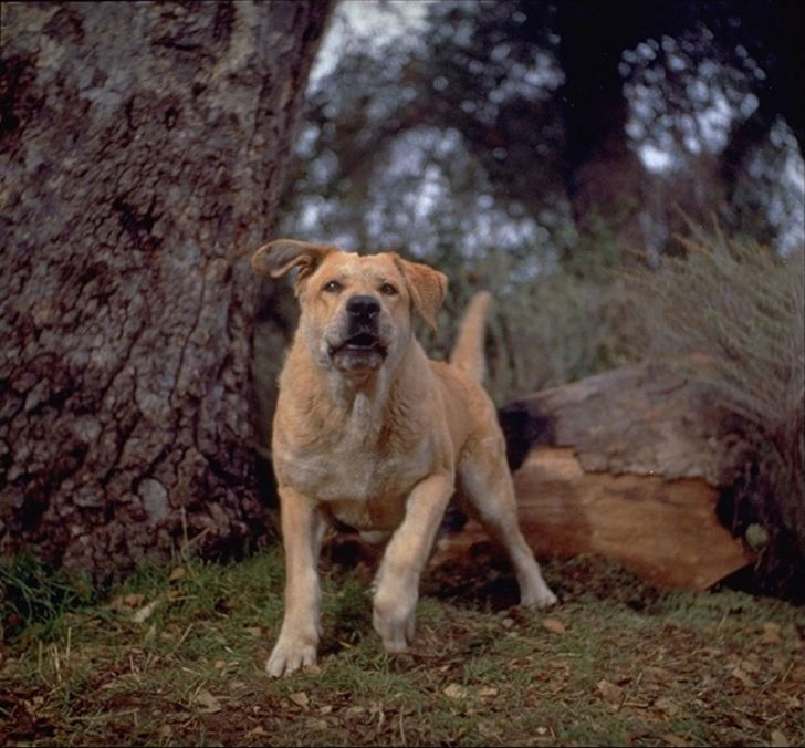Photo of Spike from 'Old Yeller' (1957)