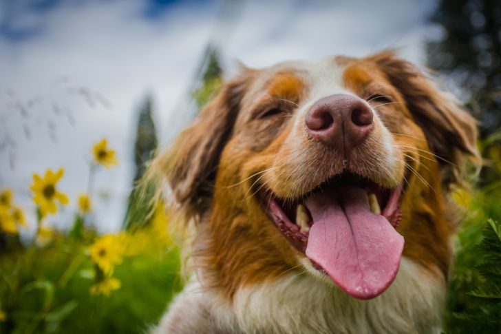 A happy dog with his tongue out sitting in a field of flowers.