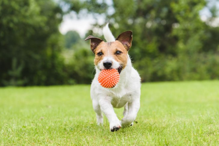 A dog running through the grass with an orange ball in its mouth.