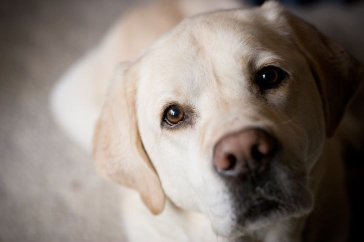 A yellow lab staring up at the camera.