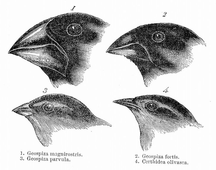 Finches sketched by Charles Darwin