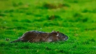 Rato invade gramado de São Januário, e cena ganha até repercussão internacional