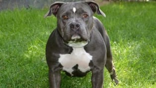 6 Most Dangerous Dog Breeds in America