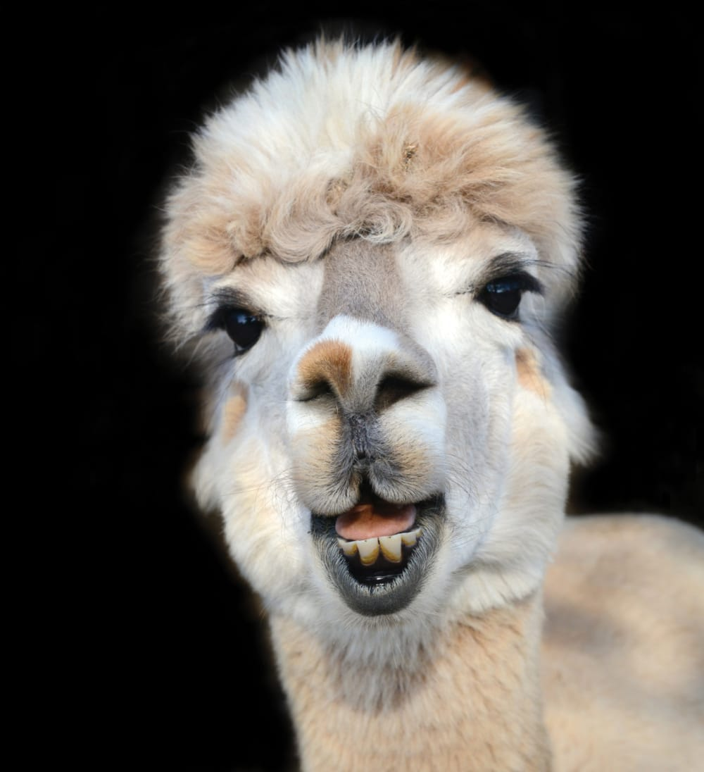 1. Huacata Alpaca