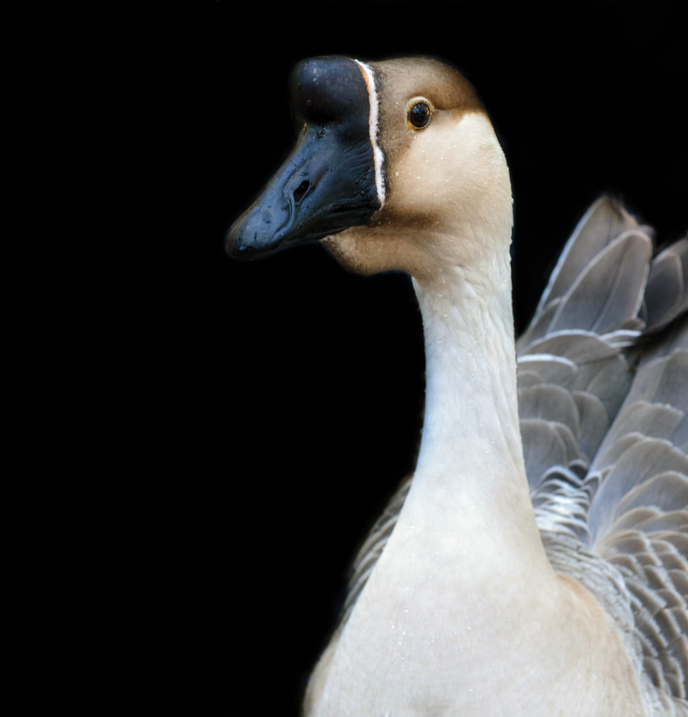 4. Chinese Goose