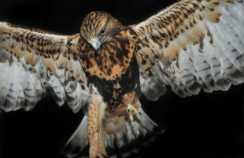 2. RED-TAILED HAWK