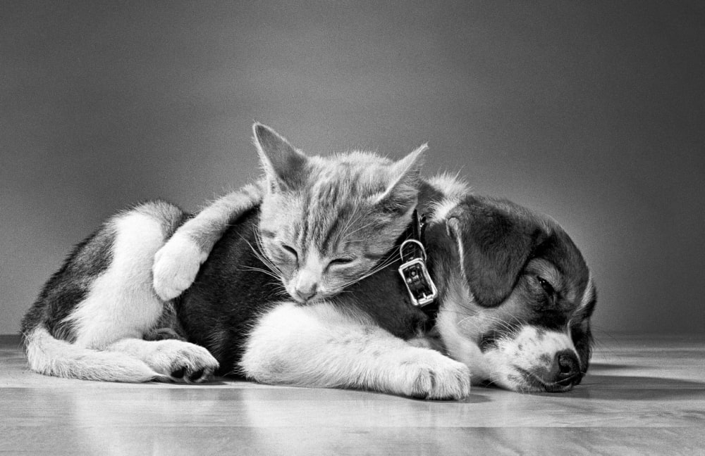 3. American Shorthair and Beagle, New Jersey, 1966