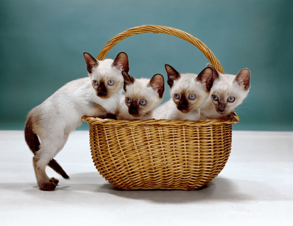 4. Siamese Kittens, New Jersey, 1962