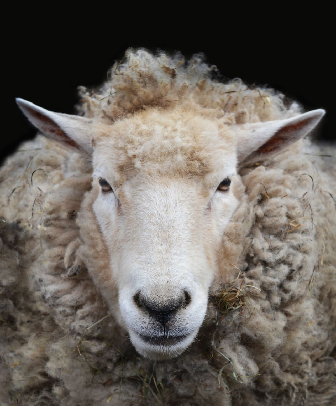 6. Romney Sheep