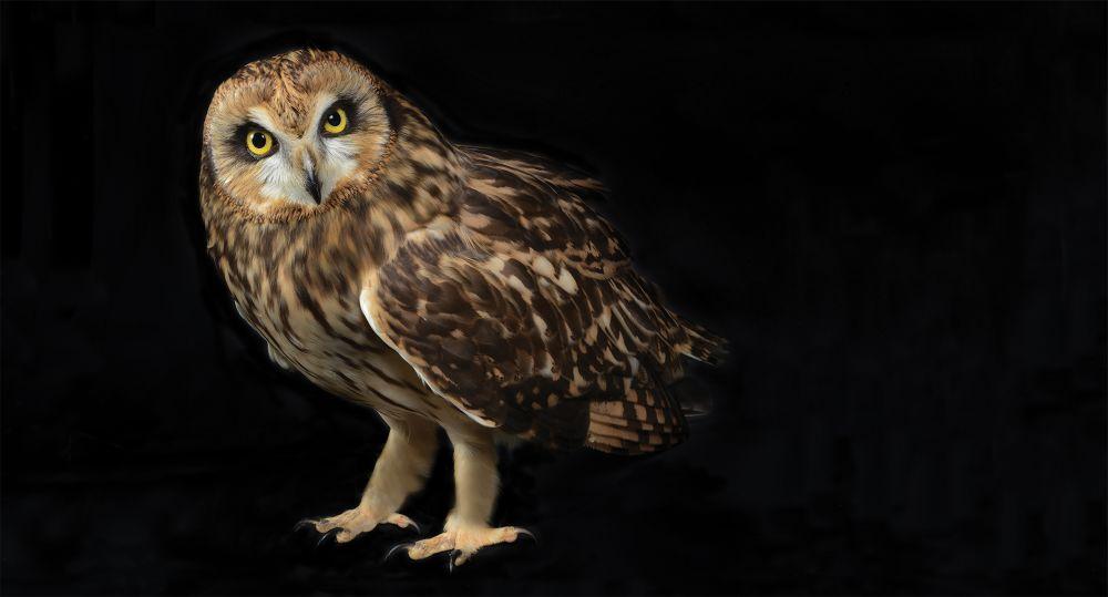 4. SHORT-EARED OWL