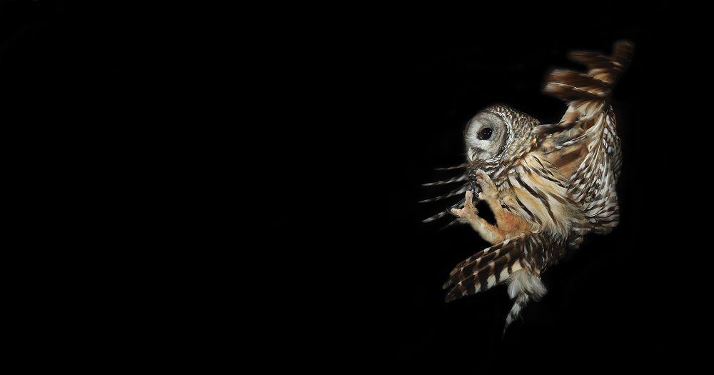 1. BARRED OWL