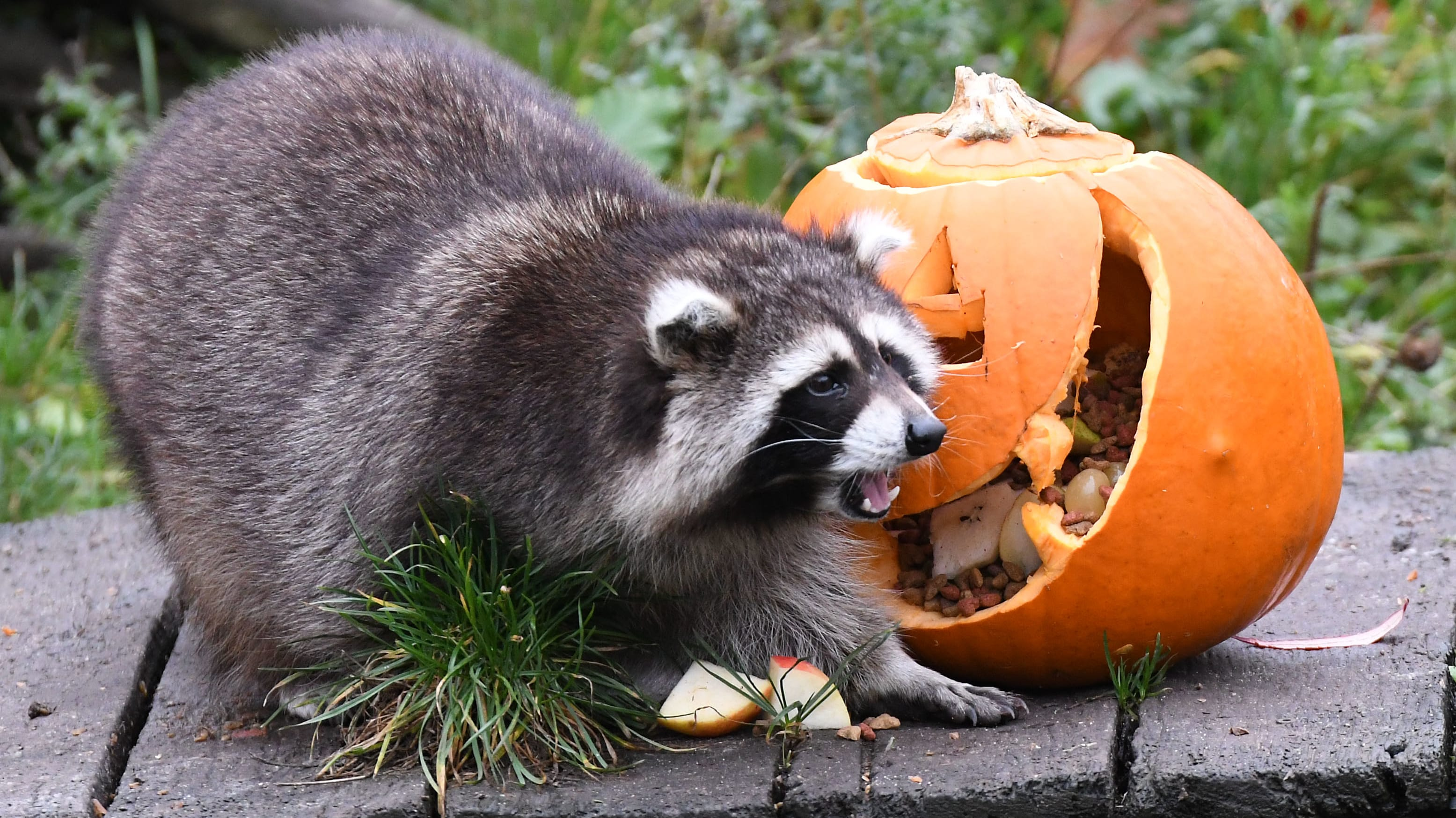 Halloween pumpkins filled with treats have been given to the animals like here a Raccoon at the Zoo in Hanover, western Germany on October 25, 2018. - Halloween is celebrated in a number of countries on October 31. (Photo by Peter Steffen / dpa / AFP) / Germany OUT        (Photo credit should read PETER STEFFEN/AFP/Getty Images)